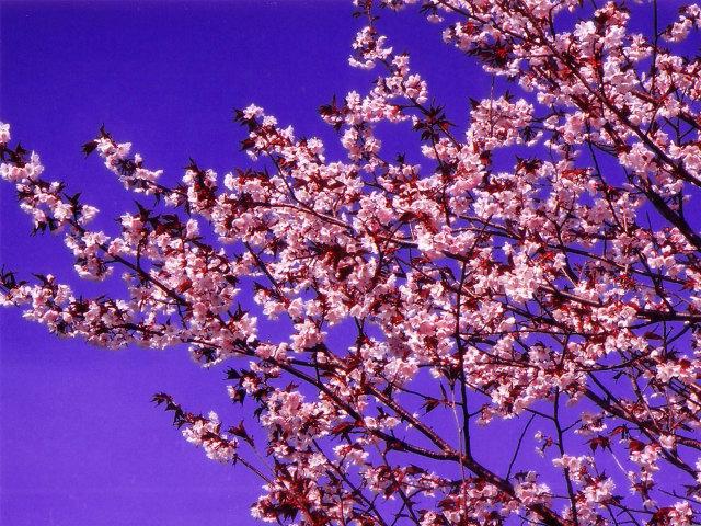 桜の写真6拡大 桜 素材のページ。桜の写真素材を公開。北海道の桜の素材です。